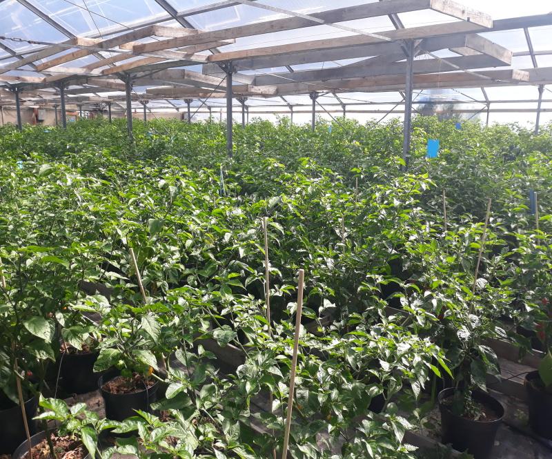Pěstujeme vlastní chilli papričky