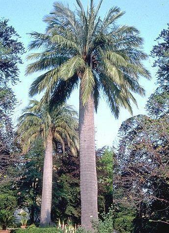 Jubaea chilensis -15°C