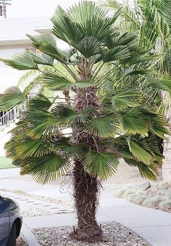 Trachycarpus wagnerianus -17°C