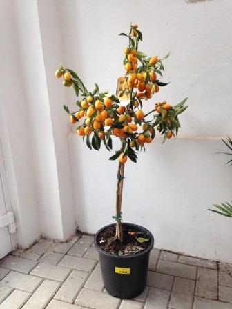 Linequat, Kumquat