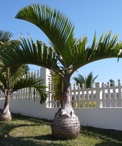 Lahvová palma