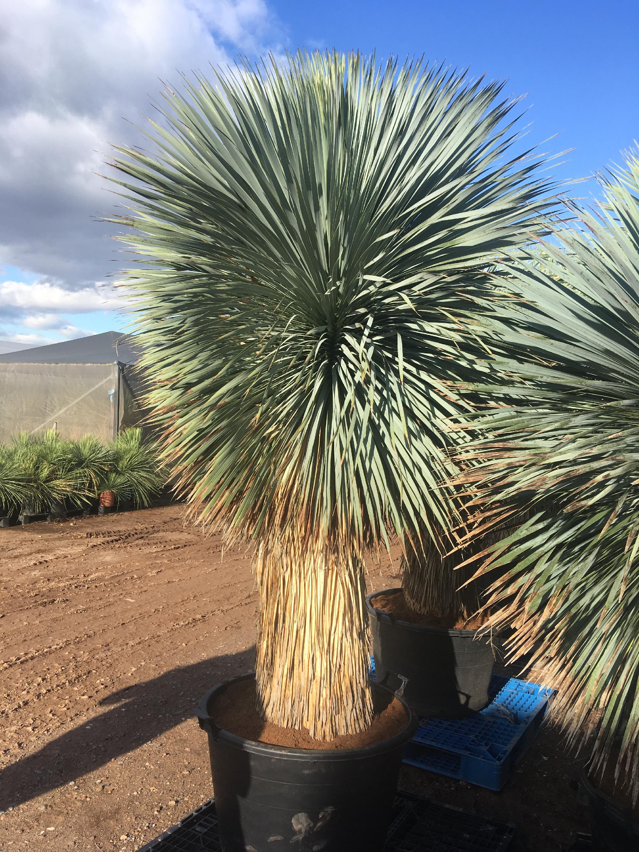 Yucca rostrata -20°C