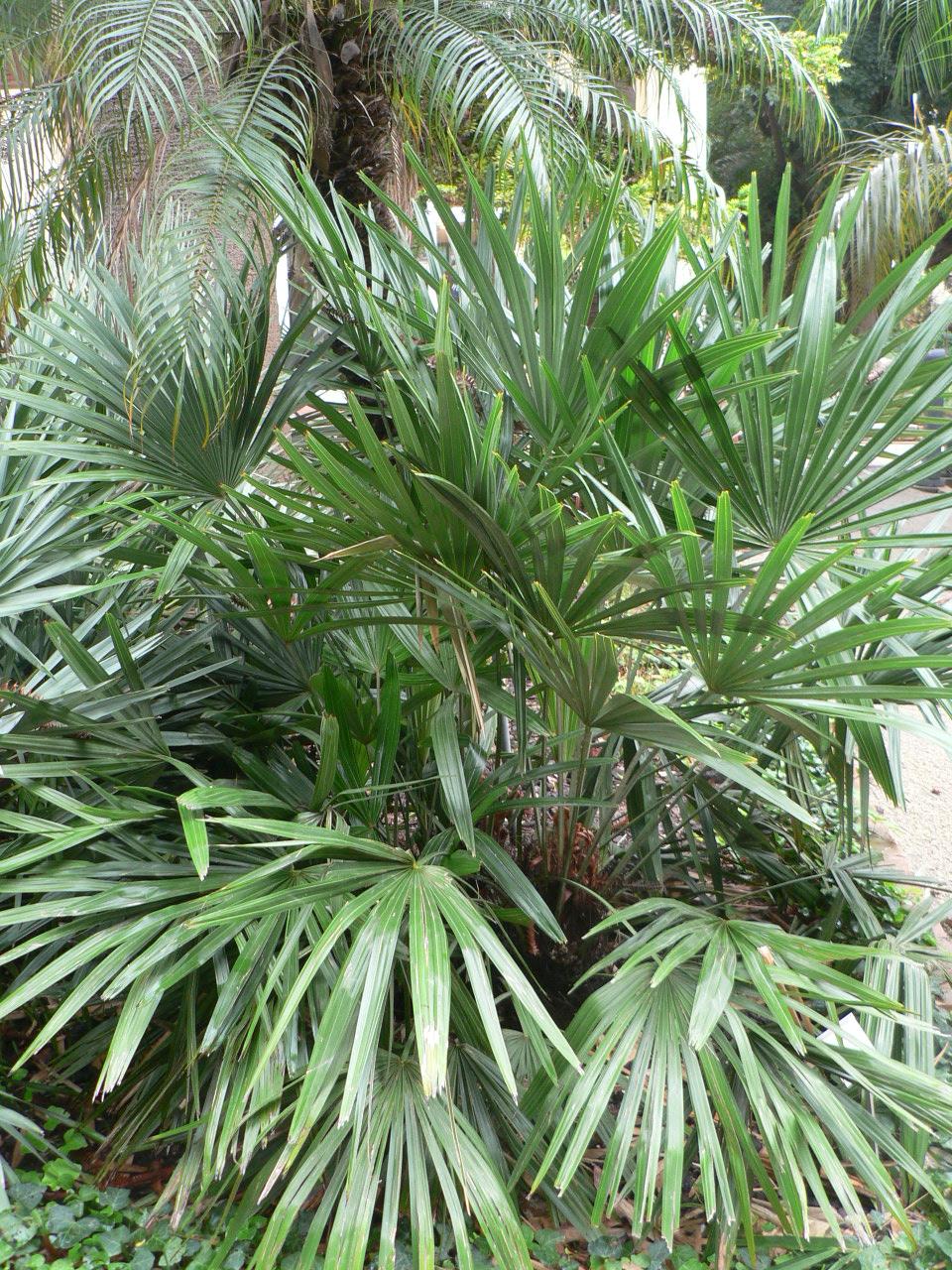 Rhapidophyllum hystrix -15°C