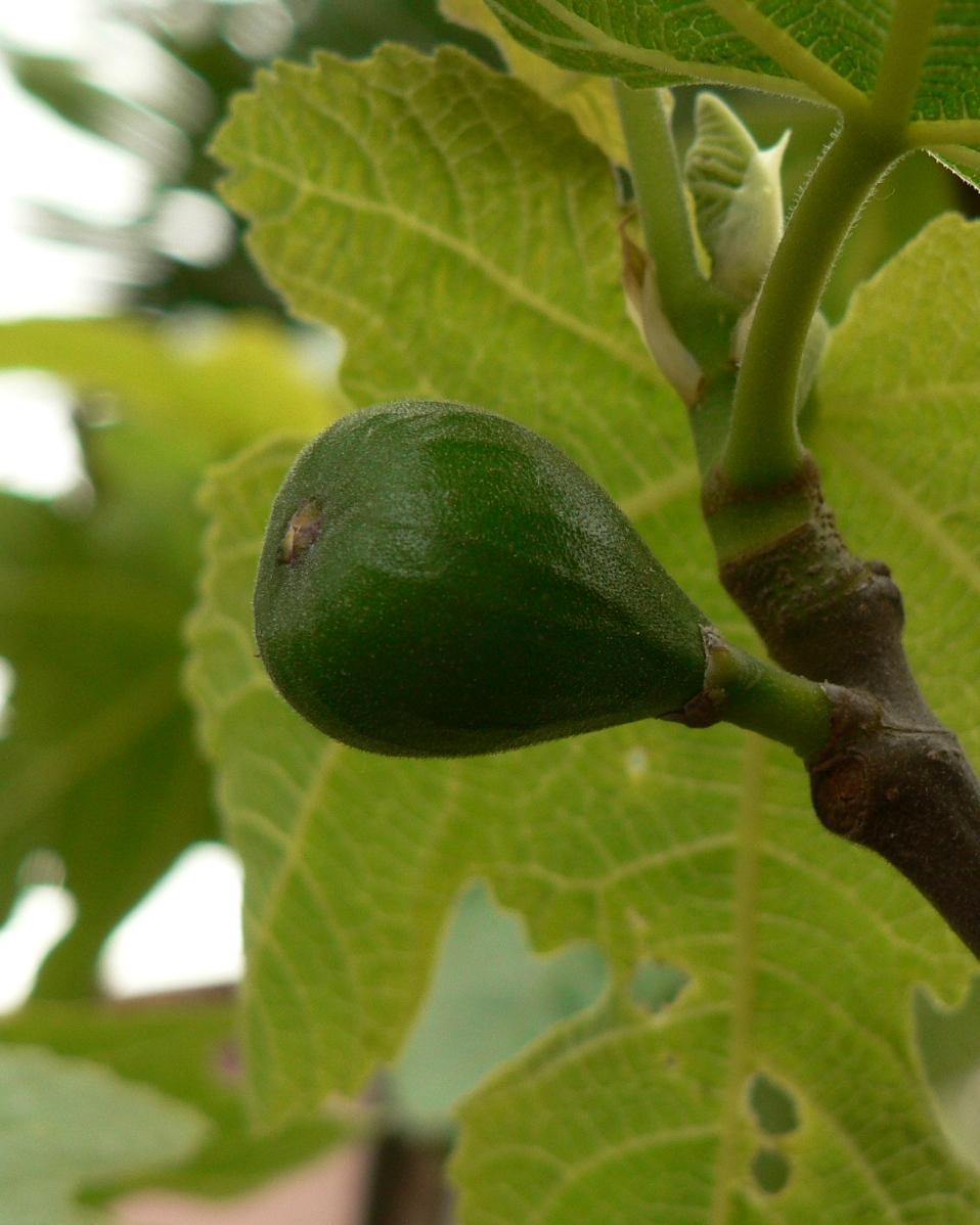 Ficus Carica -17°C