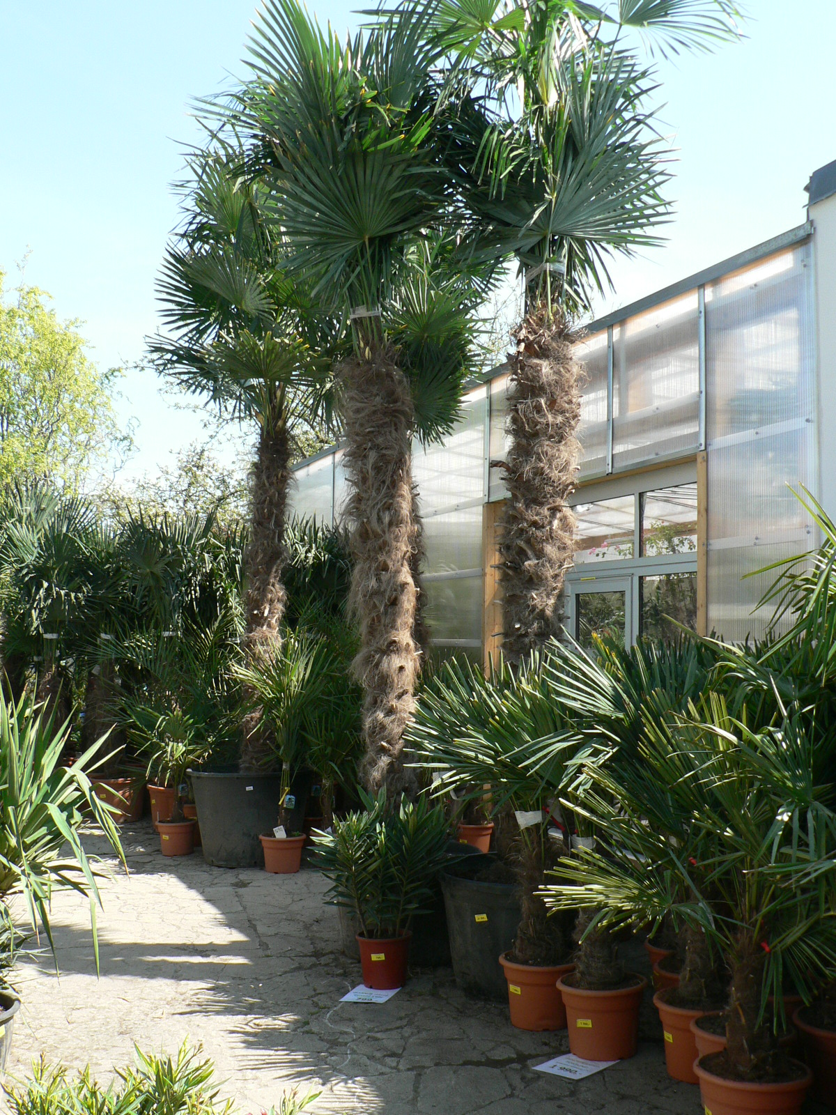 Trachycarpus Fortunei -17°C