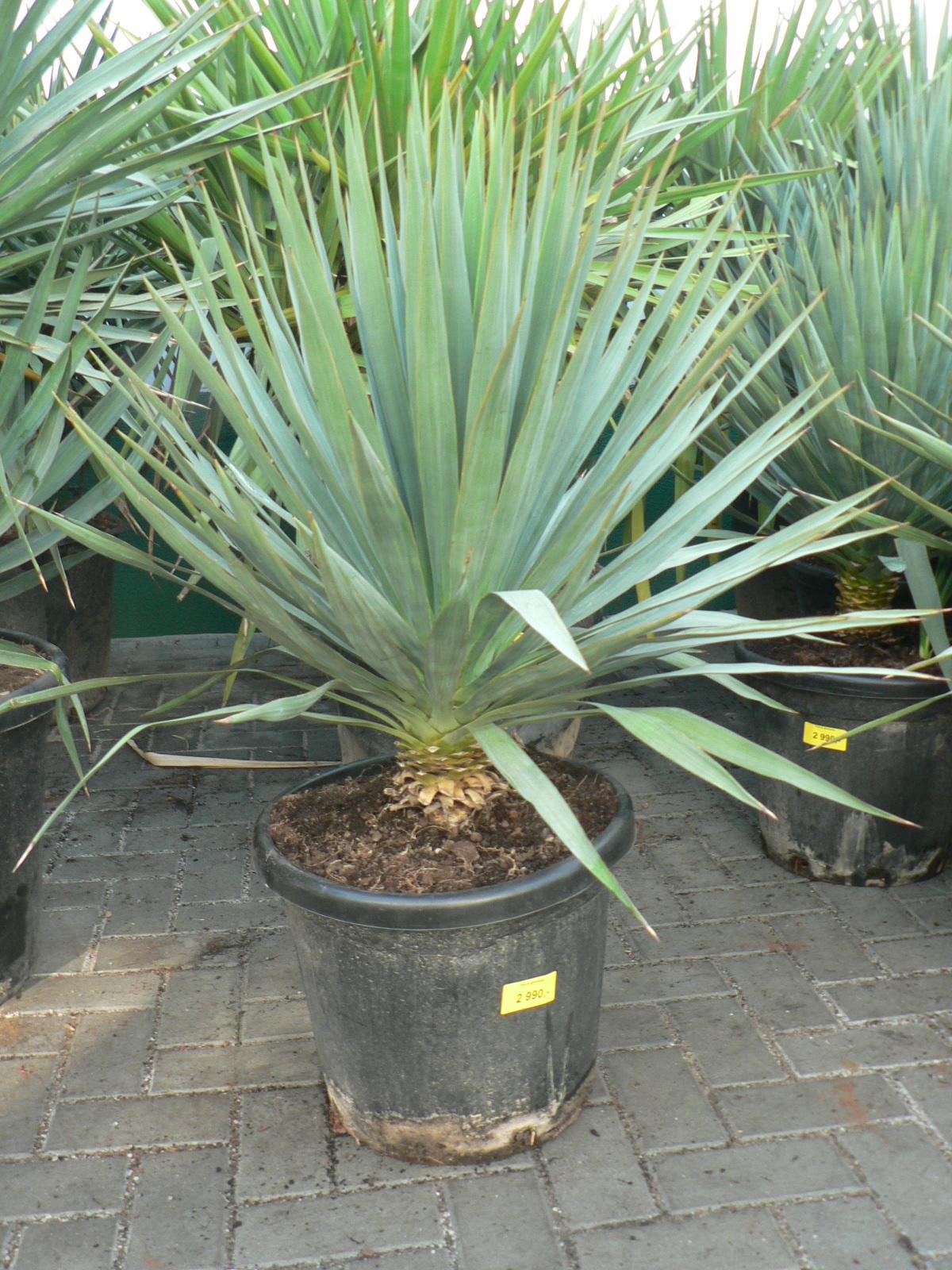 Yucca gloriosa -20°C