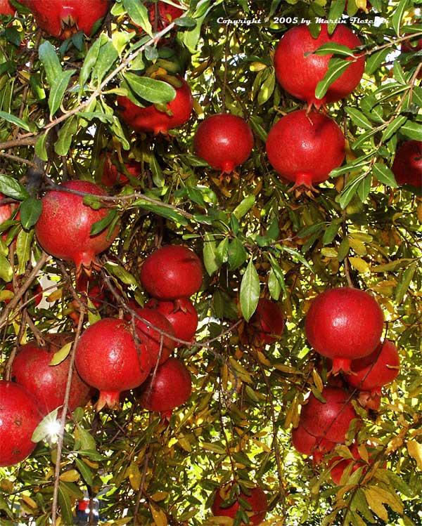 Granátové jablko -12°C