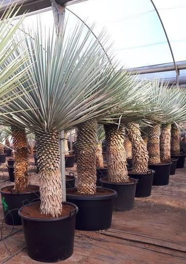 Yucca Rigida, -10°C