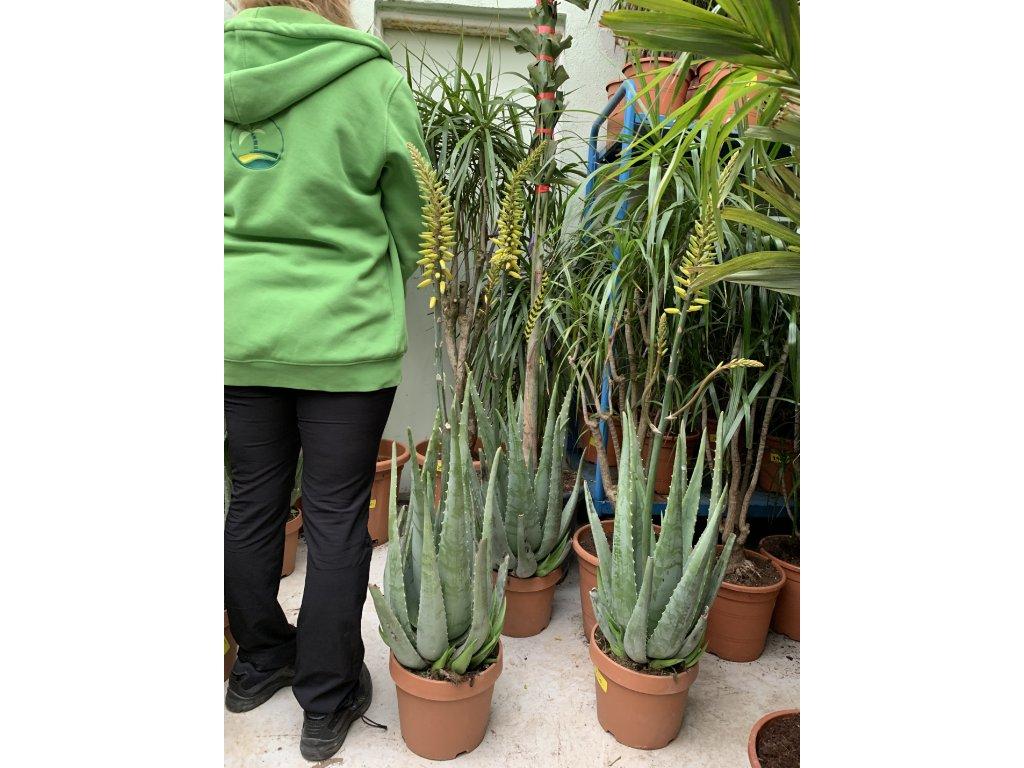 Aloe Vera, Aloe pravá, původ rostliny Španělsko.80 cm