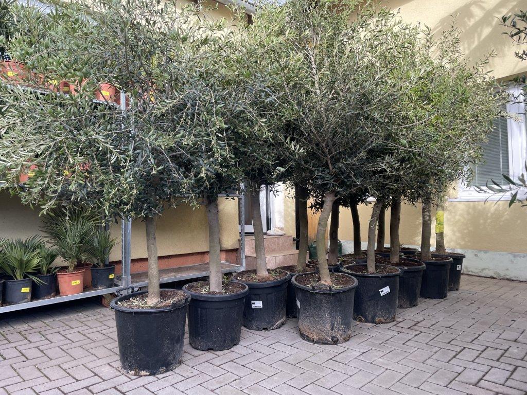 Olea europea , Olivovník.160+ cm