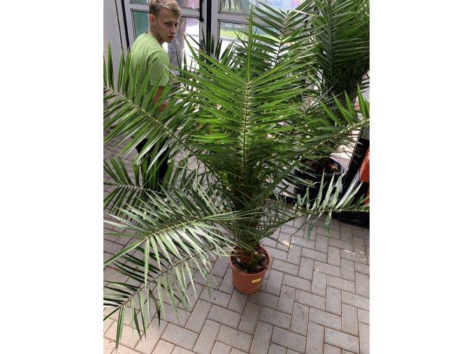 Phoenix canariensis,Datlová palma, Datlovník, původ palmy Španělsko. 110 cm