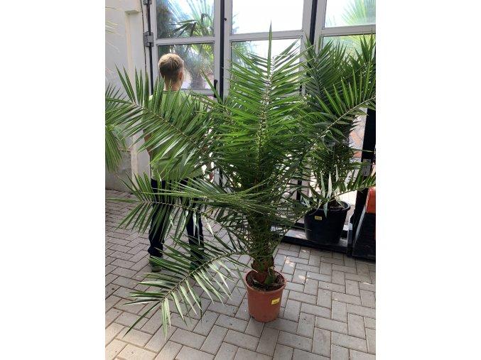 Phoenix canariensis,Datlová palma, Datlovník, původ palmy Španělsko. 160 cm