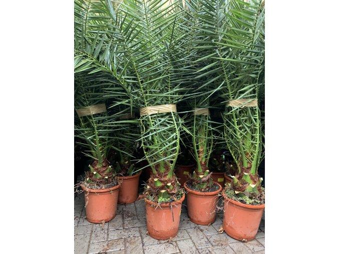 Phoenix canariensis,Datlová palma, Datlovník, původ palmy Španělsko.200 cm+