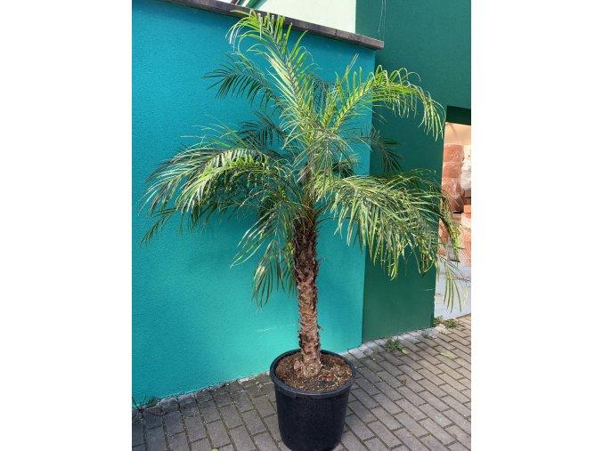 Phoenix roebelenii, Trpasličí datlová palma, původ palmy Španělsko. 170-200 cm