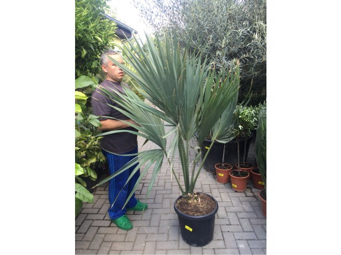 Sabal minor, Trpasličí Palmetto palma, původ palmy Španělsko. 150-160 cm
