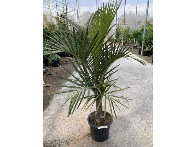 Hyophorbe vershafeltii, vřetenová palma, původ palmy Španělsko 130 cm