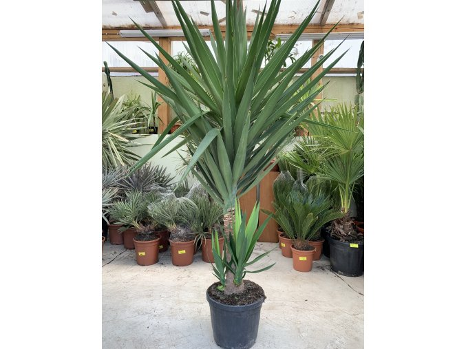 Yucca Elephantipes, juka, 190 cm