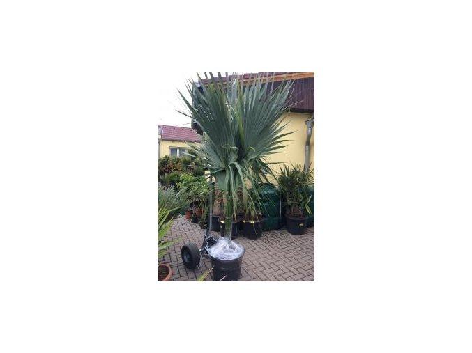 Sabal palmetto, Palmetto palma, původ palmy Španělsko.250 cm