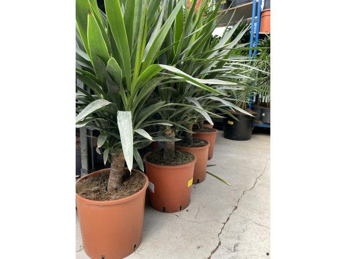 Yucca Elephantipes + okrasný květináč