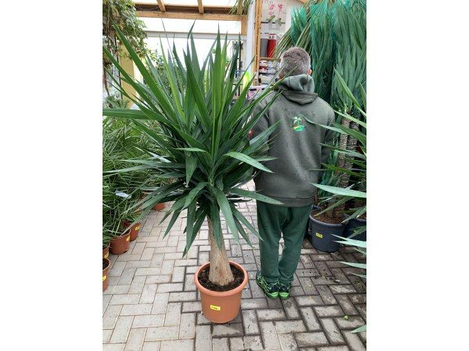 Yucca Elephantipes , juka, původ rostliny Španělsko. 160 cm