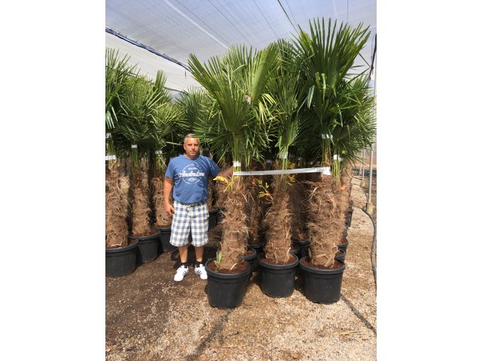 Trachycarpus fortunei, Konopná palma, mrazuvzdorná, původ palmy Španělsko. kmen 80 cm+, 200 cm