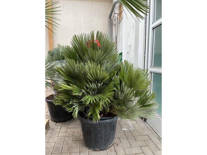 Chamaerops humilis vulcano , palma , původ palmy Španělsko. 120 cm