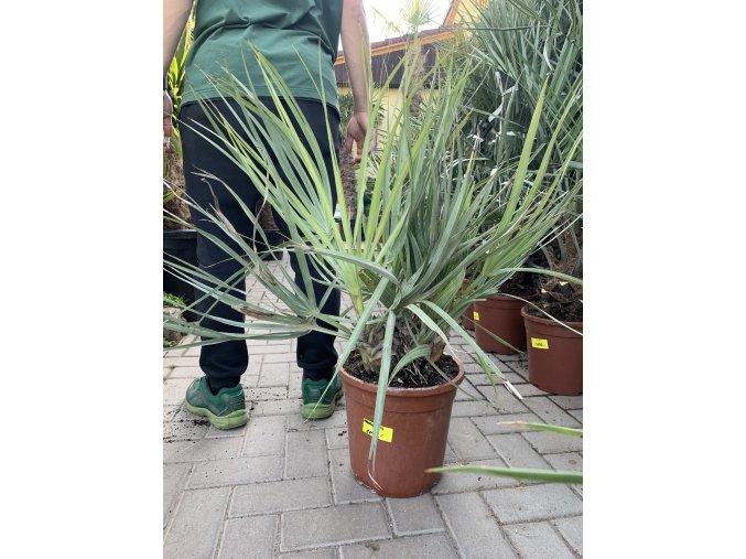 Nannorhops ritchiana, mrazuvdorná palma, původ palmy Španělsko. 60 cm