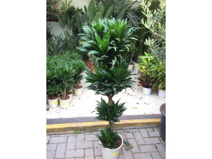 Dracaena Compacta, dracena, původ rostliny Španělsko. 160 cm