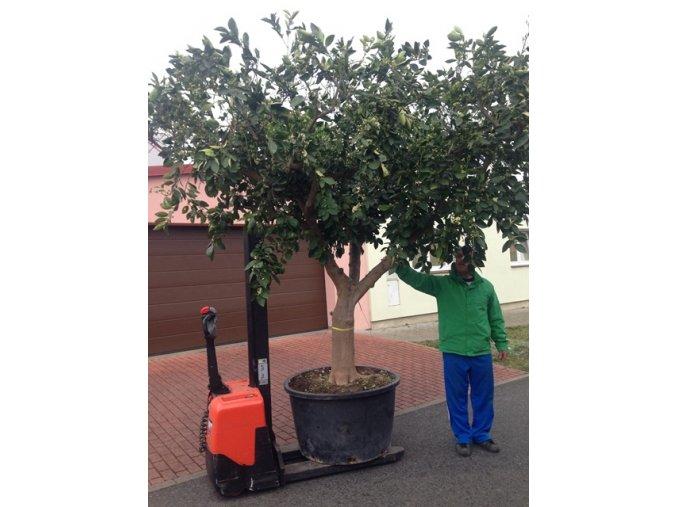 Pomerančovník, původ rostliny Španělsko. 400 cm