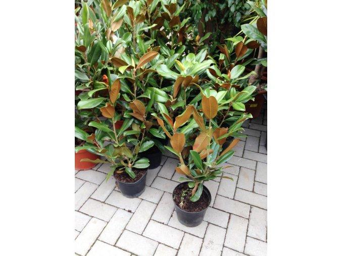 Magnolie grandiflora Gallissoniensis, původ rostliny Španělsko. 80 cm