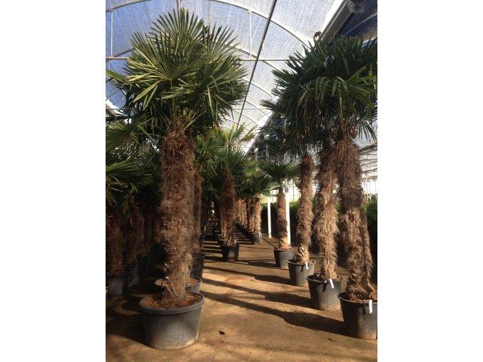 Trachycarpus fortunei, Konopná palma, mrazuvzdorná, kmen 200 cm+,280-330 cm