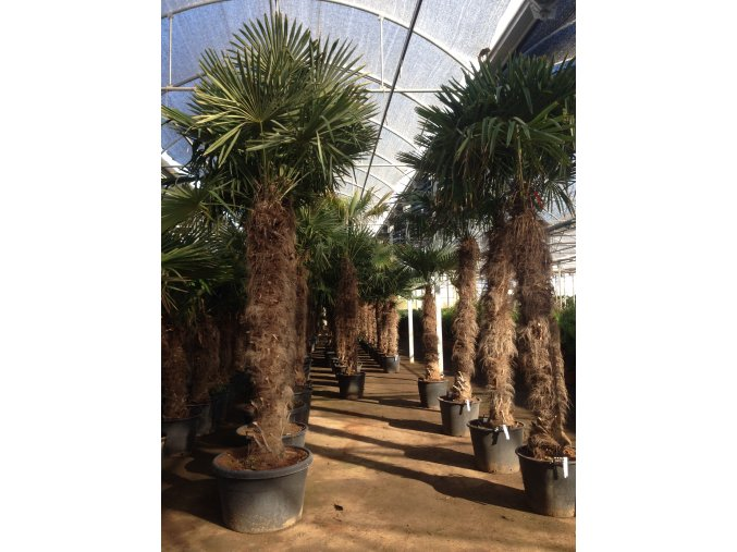 Trachycarpus fortunei, Konopná palma, mrazuvzdorná, původ palmy Španělsko. kmen 200 cm+,280-330 cm