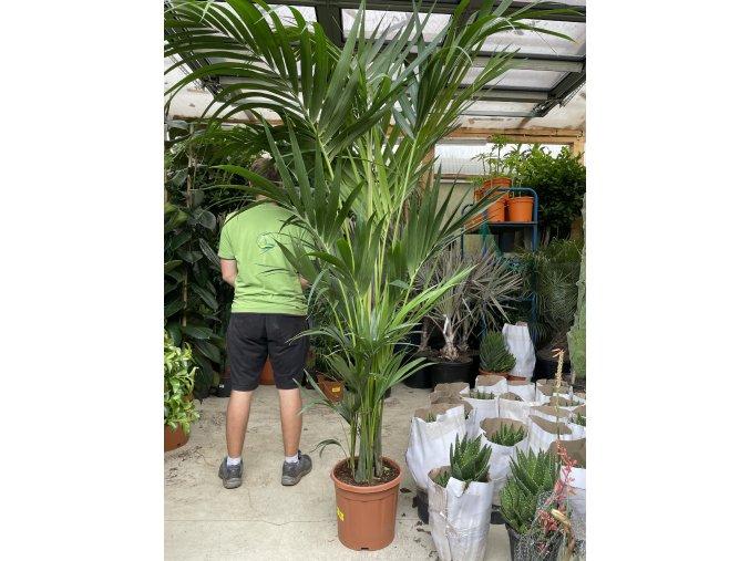 Howea Forsteriana , palma , 220 cm