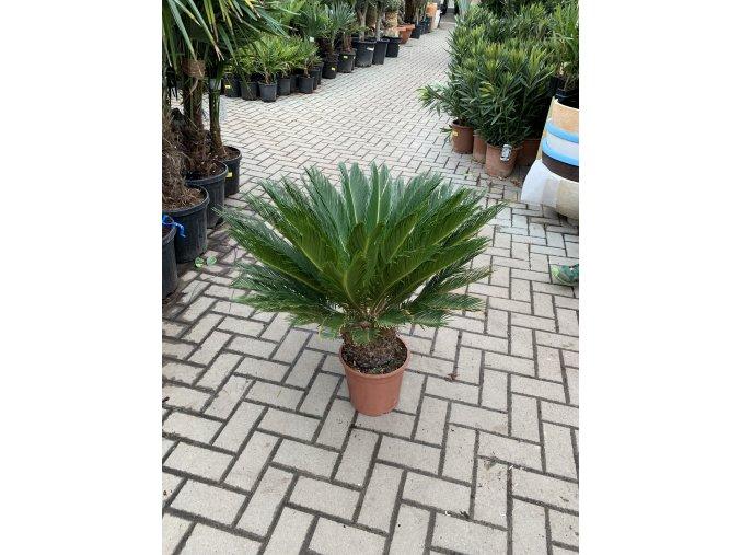 Cycas revoluta, Cykas revoluta, 70 cm