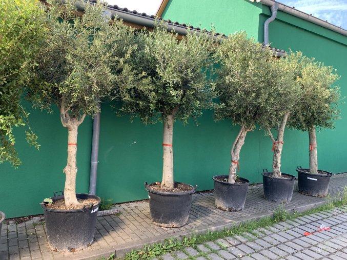 Olea europea - Olivovník 280 cm