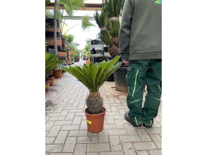 Cycas revoluta, Cykas revoluta, 75 cm