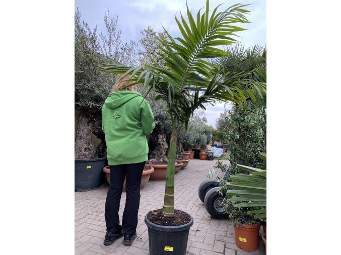 Archontophoenix alexandrae, Alexandrova palma, původ palmy Španělsko. 200+ cm