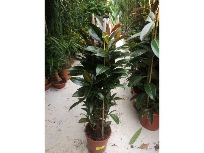 Ficus elastica Melany, původ rostliny Španělsko. 90 cm