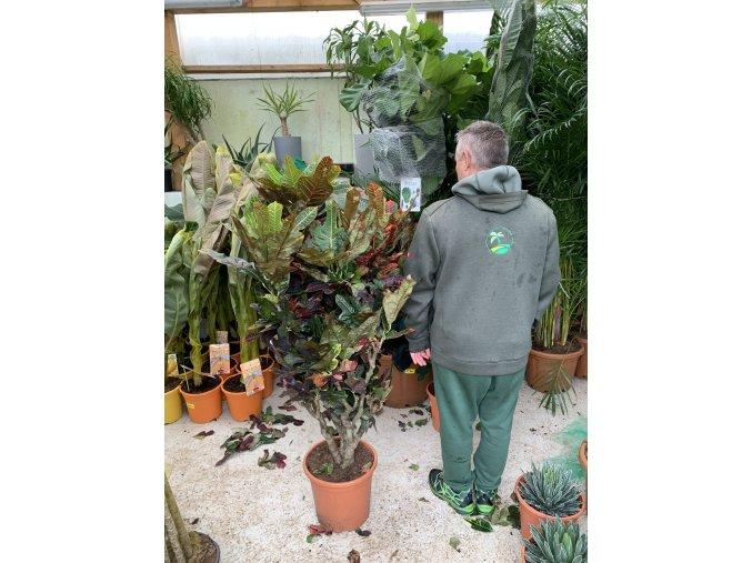 Codiaeum variegatum, kroton. 150 cm