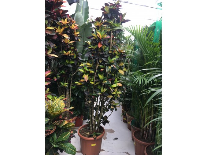 Codiaeum variegatum, kroton. 220 cm