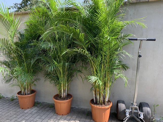 Areca lutescens, chrysalidocarpus, dypsis. 220+ cm