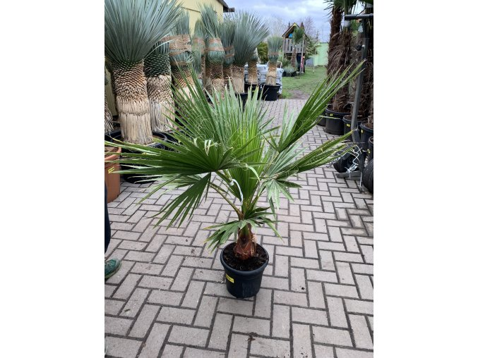 Washingtonia robusta , palma , původ palmy Španělsko. 150-160 cm