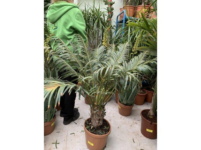 Cycas circinalis, cykas, původ Španělsko. 110-120 cm