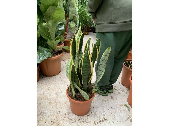 Sansevieria laurenti, tchynin jazyk. 80 cm