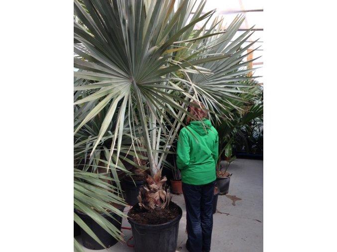 Bismarckia nobilis, Bismarckova palma, původ palmy Španělsko. 180-220 cm