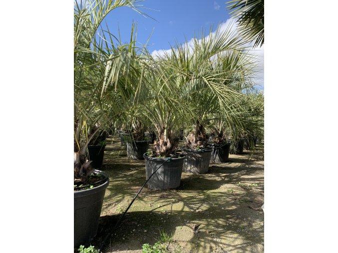 Butia capitata , palma , původ palmy Španělsko. 160+ cm