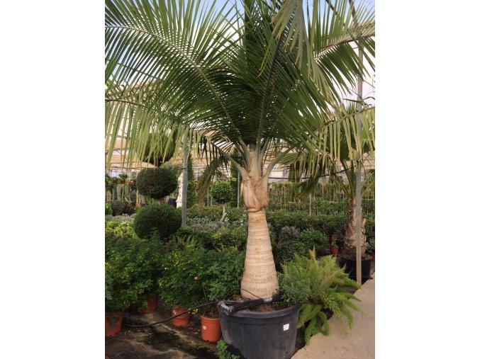Ravenea rivularis, palma, původ palmy Španělsko