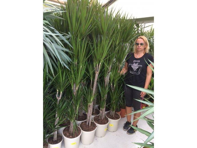 Dracaena marginata, dracena, původ rostliny Španělsko. 170 cm