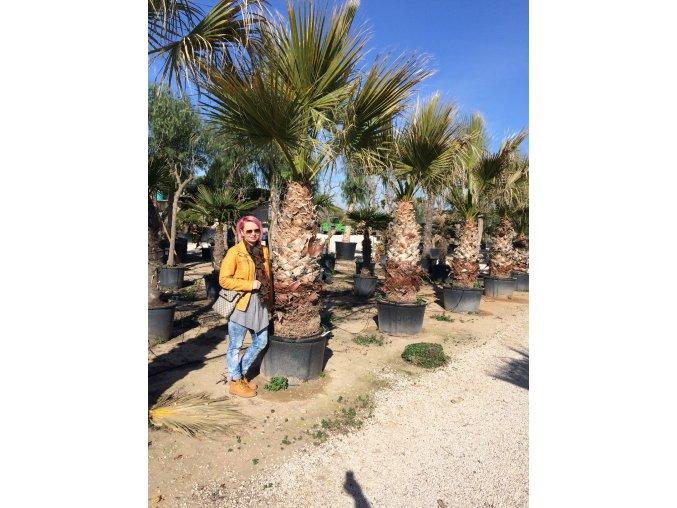 Washingtonia Filifera , palma , původ palmy Španělsko.