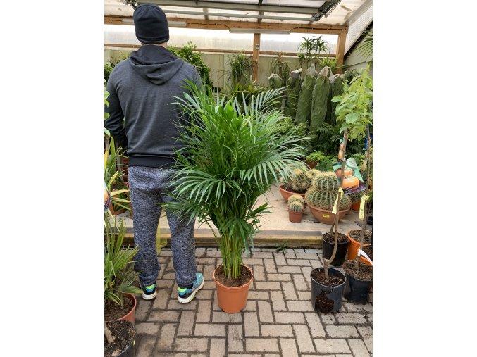 Areca lutescens, chrysalidocarpus, dypsis. 140 cm